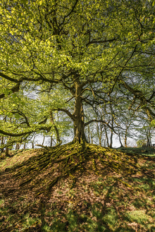 Tree with big branches and substantial root system.